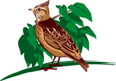 Crested lark. Vector illustration of a crested lark Stock Photos