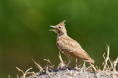 Crested Lark Royalty Free Stock Images