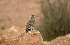 Crested lark. (Galerida cristata) on a rock in its wildlife habitat Royalty Free Stock Images