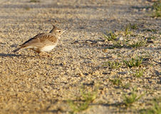 Crested Lark Stock Photography