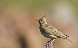 Crested Lark (Galerida cristata). Crested lark is perching on a piece of wooden rod stock photo