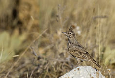 Crested Lark. Is perching on a piece of rock royalty free stock photography