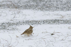 Crested Lark Stock Photos