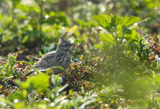 Crested Lark with background of water droplets Royalty Free Stock Images
