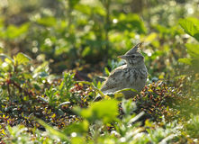 Crested Lark with background of water droplets Royalty Free Stock Photos