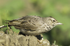 Crested Lark close-up / Galerida cristata Stock Image