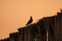 Crested lark on fence. Made of palm leafs stock photography