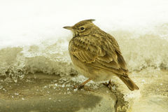 Crested lark ( Galerida cristata) Royalty Free Stock Photo