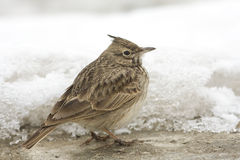 Crested lark ( Galerida cristata) Stock Photos