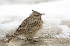 Crested lark ( Galerida cristata). On snow in a winter scene Stock Photos