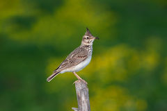 Crested lark ( Galerida cristata ) Stock Photos