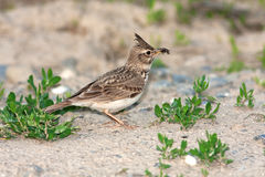Crested lark ( Galerida cristata ). Looking for food Stock Images