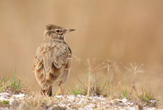 Crested lark (galerida cristata) Royalty Free Stock Photography
