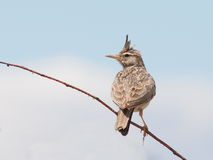 Crested Lark, Galerida cristata Royalty Free Stock Image