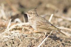 The Crested Lark (Galerida cristata) Stock Images