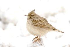Crested lark ( Galerida cristata ) Stock Photography