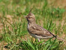 Crested Lark, Galerida cristata Stock Photo