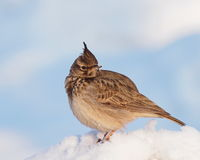 Crested Lark, Galerida cristata Royalty Free Stock Photography
