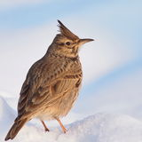 Crested Lark, Galerida cristata Stock Photos