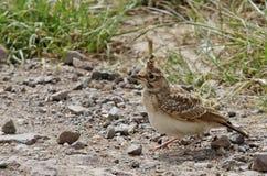 Little Bird. Crested lark - Galerida cristata. Little bird. Crested lark on the ground - Galerida cristata Royalty Free Stock Images