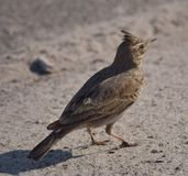 Crested lark. (Galerida cristata) on the ground Royalty Free Stock Image