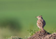 Crested Lark (Galerida cristata) Royalty Free Stock Image
