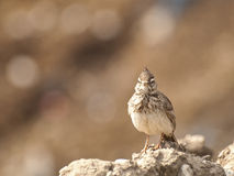Crested Lark Stock Image