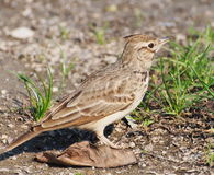 Crested Lark, Galerida cristata Royalty Free Stock Photos