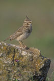 Crested lark, Galerida cristata Stock Images