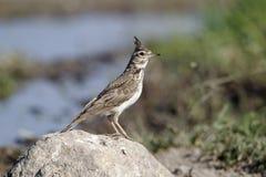 Crested lark, Galerida cristata Stock Images
