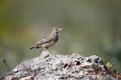 Crested lark, Galerida cristata Stock Photo