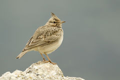 Crested Lark Stock Photo