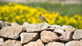 Crested Lark (Galerida cristata) sitting on a rock with a beauti Stock Images
