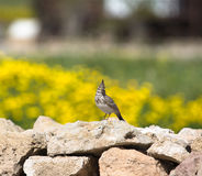 Crested Lark (Galerida cristata) sitting on a rock with a beauti Royalty Free Stock Photography