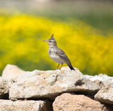 Crested Lark (Galerida cristata) sitting on a rock with a beauti Stock Photography