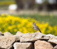 Crested Lark (Galerida cristata) sitting on a rock with a beauti Royalty Free Stock Photo