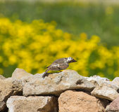Crested Lark (Galerida cristata) sitting on a rock on beautiful Royalty Free Stock Photos
