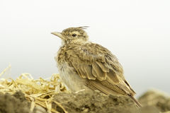 Crested Lark on the ground / Galerida cristata Stock Photo
