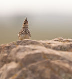 Crested Lark on guard. A Crested Lark (Galerida cristata), watches carefully  the approach of any enemy Royalty Free Stock Photos