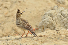 Crested Lark Royalty Free Stock Photos