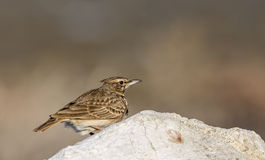 Crested Lark on Rock Royalty Free Stock Image