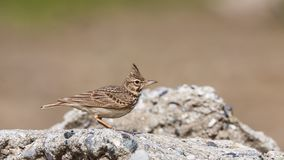 Crested Lark on Rock Royalty Free Stock Images