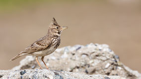 Crested Lark on Rock Stock Image