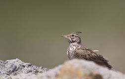 Crested Lark (Galerida cristata) Royalty Free Stock Photos