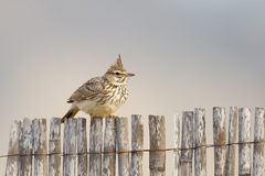 Crested Lark sat on fence royalty free stock photos