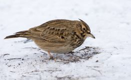 Crested Lark in search of feeding in snowy winter royalty free stock images