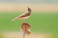 Crested Lark Singing Royalty Free Stock Photo