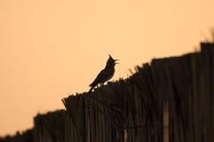 Crested lark singing. Back-lit crested lark singing stock photography