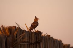 Crested lark singing on fence. Made of palm leafs royalty free stock photos