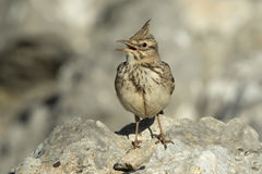 Crested Lark Singing Royalty Free Stock Photos